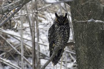 Sleeping Long-eared Owl, Asio otus, perched in tree