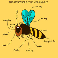 The structure of the working bee (doodle)