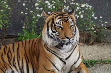 Tiger - Closeup