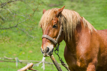 Outdoor portrait of draft horse in summer stall