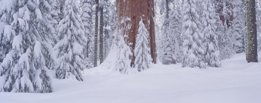 Redwoods and winter snow in the Giant Forest, Sequoia National Park, California