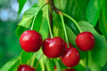 Young, ripe berries cherries ripen on the branch
