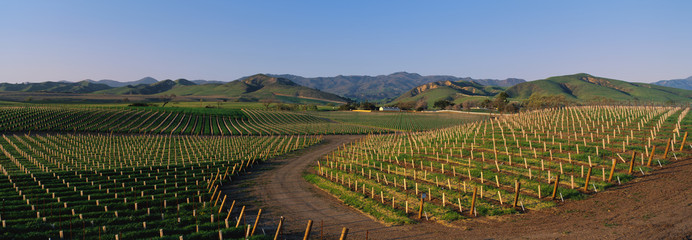 These are vineyards in the Santa Ynez Valley at sunset. There is a small road winding through the vineyards. There are white The rolling hillside of Santa Ynez is in the background.