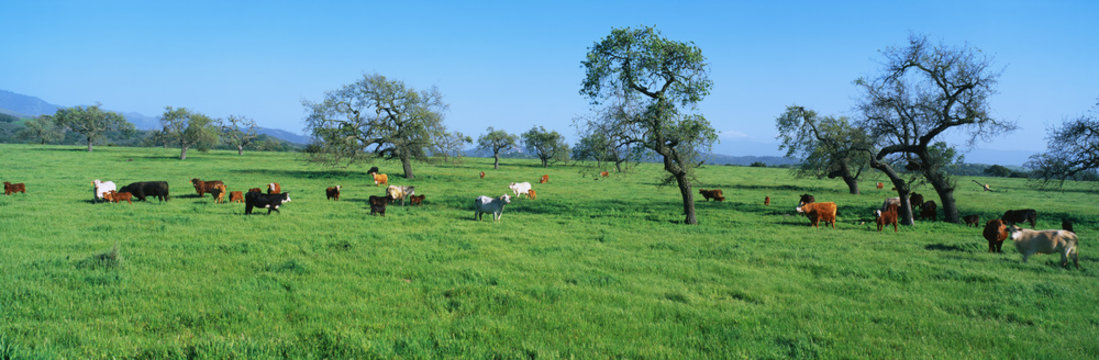These are cattle grazing in a spring field.