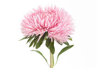 Aster flower head