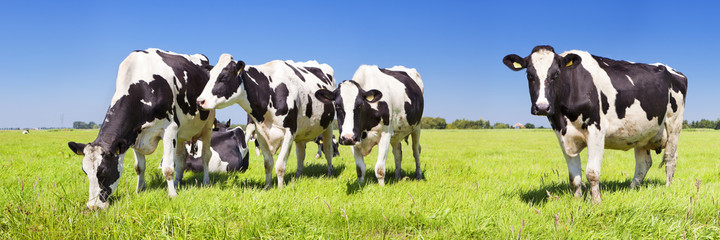 Spoed Foto op Canvas Koe Cows in a fresh grassy field on a clear day