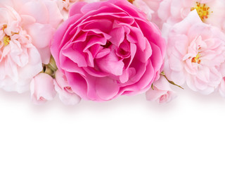 Bright pink and pale pink roses on the white background