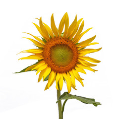 Sun flower, Isolated on white background