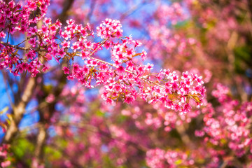 Japanese cherry blossom in spring. selective soft focus