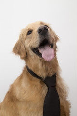 Golden Retriever con corbata