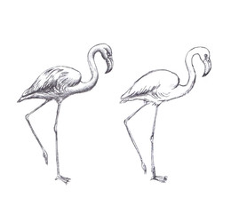 Hand drawn flamingo on white background