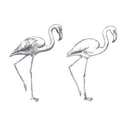 Hand drawn flamingo on white background