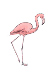Hand drawn pink flamingo on white background