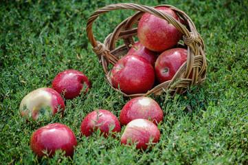 яблоки в плетенной корзинке. спелые румяные яблоки выпали в травуиз корзины