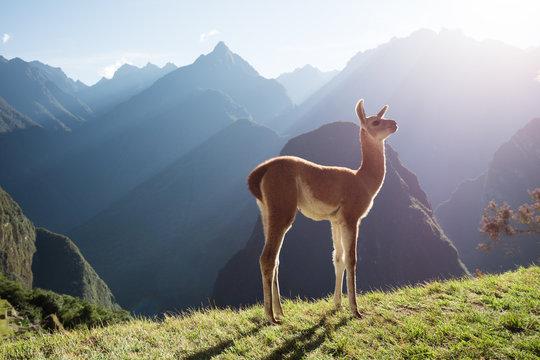 Machu Picchu Baby Llama