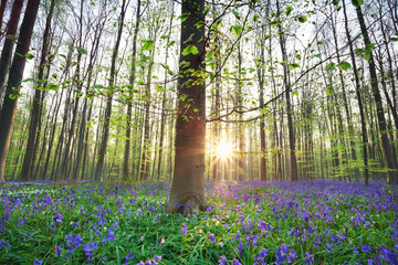 beautiful sunrise in blue bell spring forest
