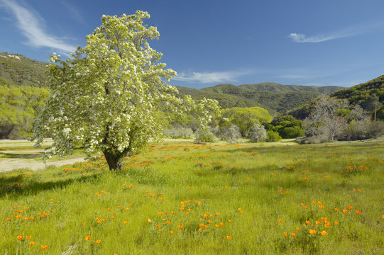Lone tree and colorful bouquet of spring flowers blossoming off Route 58 on Shell Creek road, West of Bakersfield in CA