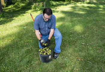 Putting Black Walnuts In A Bucket
