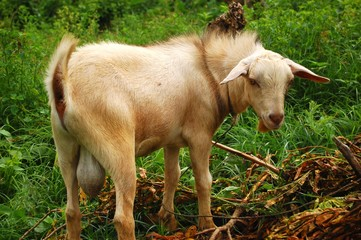Male goat showing his big testicles photo image