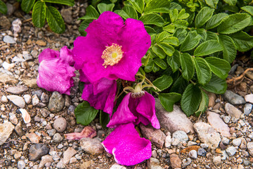 wild dog rose on the pacific ocean coast