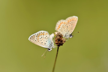 Butterflies copulate on dry flower