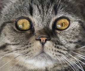 Extreme close up of cat staring