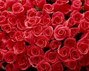 一面のバラの花