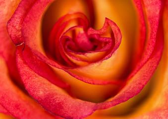 bright rose