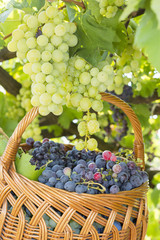 Grapes on tree with basket of grapes beneath