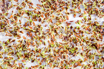 The sprouted seeds in the genetic laboratory