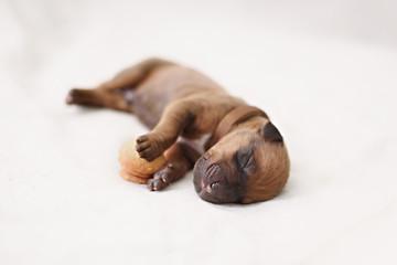 Newborn puppy sleeps on cookies