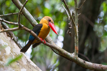 Stork-billed Kingfisher (Halcyon capensis), standing on a branch