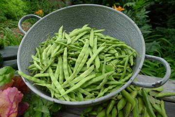 fresh beans picked from garden