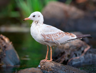 Black-Headed Gull Perched On A Stone