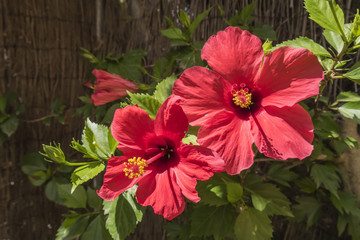 Red hibiscus flowers, sunny day