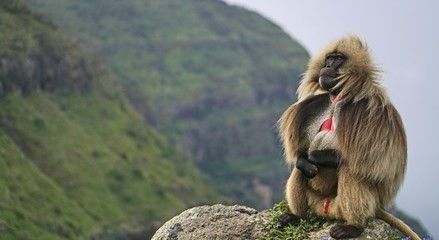 A lone gelada baboon perched high in the Simien Mountains in Ethiopia.