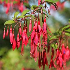 Fuchsia rustique dans un jardin