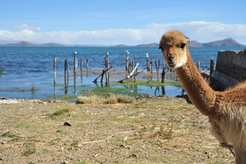 Vicuña on the shores of lake Titicaca