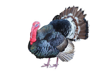 turkey isolated on the white background