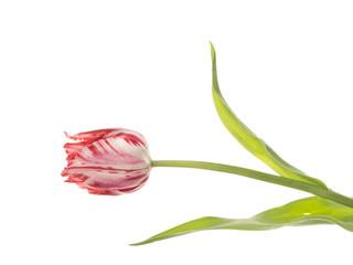 Motley tulip on a white background