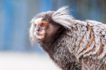 White Eared Marmoset - Sagui Monkey (Mico)