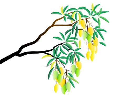 Mango tree branch with fruit on white background,Vector illustration