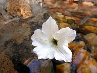 A beautiful white petunia with reflection