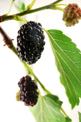 Branch of fresh mulberry isolated on white