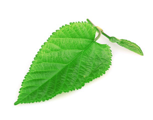 Mulberry leaf isolated on white