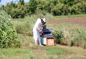 beekeeper with the protective suit while collecting honey from h