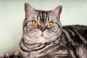 American shorthaired cat