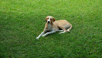 Stray dog lying on green grass