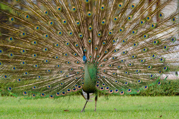 Green Peafowl of Thailand