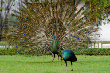 Green Peafowl of Thailand